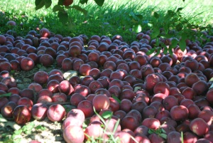 Now, those are some apples!